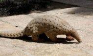 Dünyanın En Çok Korunan Hayvanı – Pangolin