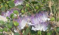 Kapari bitkisi ve faydaları